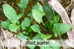 red_sorrel.jpg