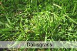 dallisgrass.jpg