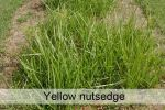 yellow_nutsedge.jpg